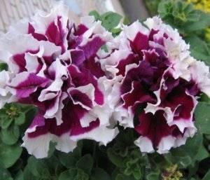 Петуния ампельная (48 фото): что такое стелющаяся петуния? посадка и уход в домашних условиях. как выращивать и прищипывать растение? лучшие сорта с названиями «рапунцель» и «пурпурный водопад f2»