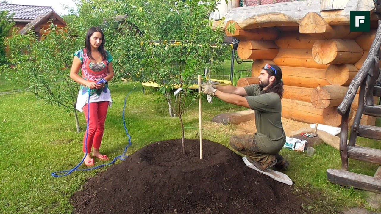 5 главных правил посадки яблони на глинистой почве