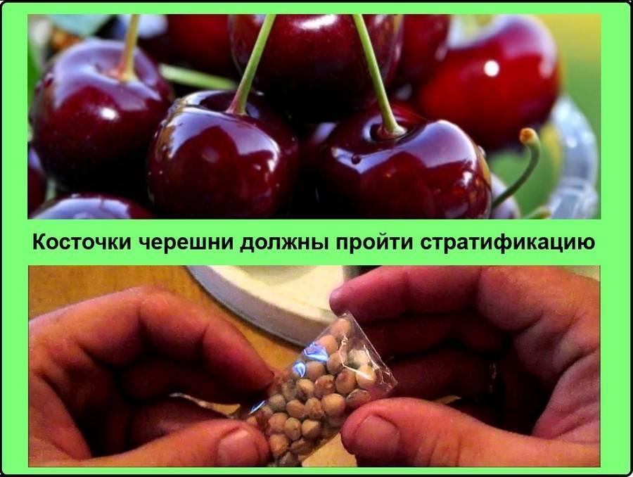 Как вырастить черешню из косточки, как посадить черешню из косточки, будет ли плодоносить?