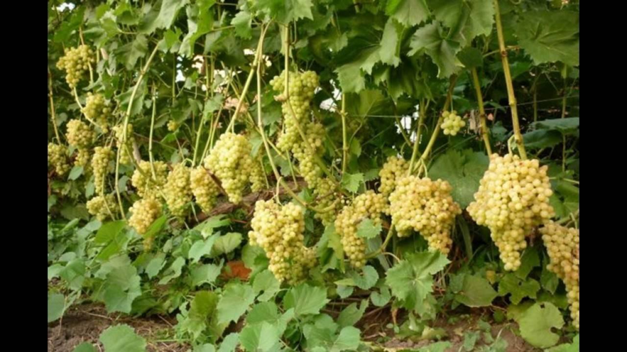 Виноград кишмиш 342 — особенности выращивания и ухода