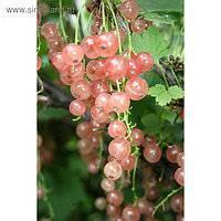 Смородина голландская розовая описание сорта фото отзывы