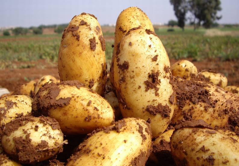 Ультраранний картофель «фермер»: описание сорта, фото, подробная характеристика