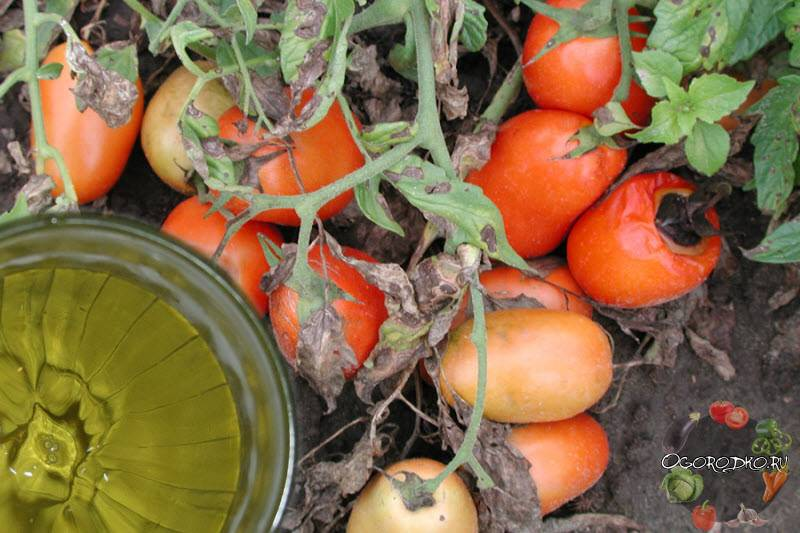 Как избавиться от фитофторы на помидорах?