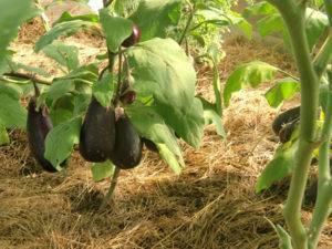 О поливе баклажанов в теплице: высадка, мульчирование, основные правила полива