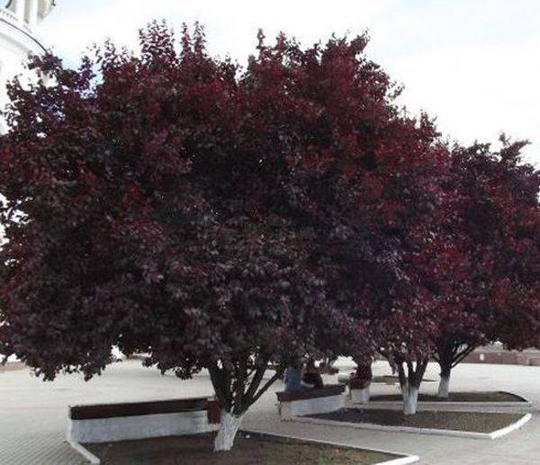 Писсарди - слива декоративная. описание и условия выращивания