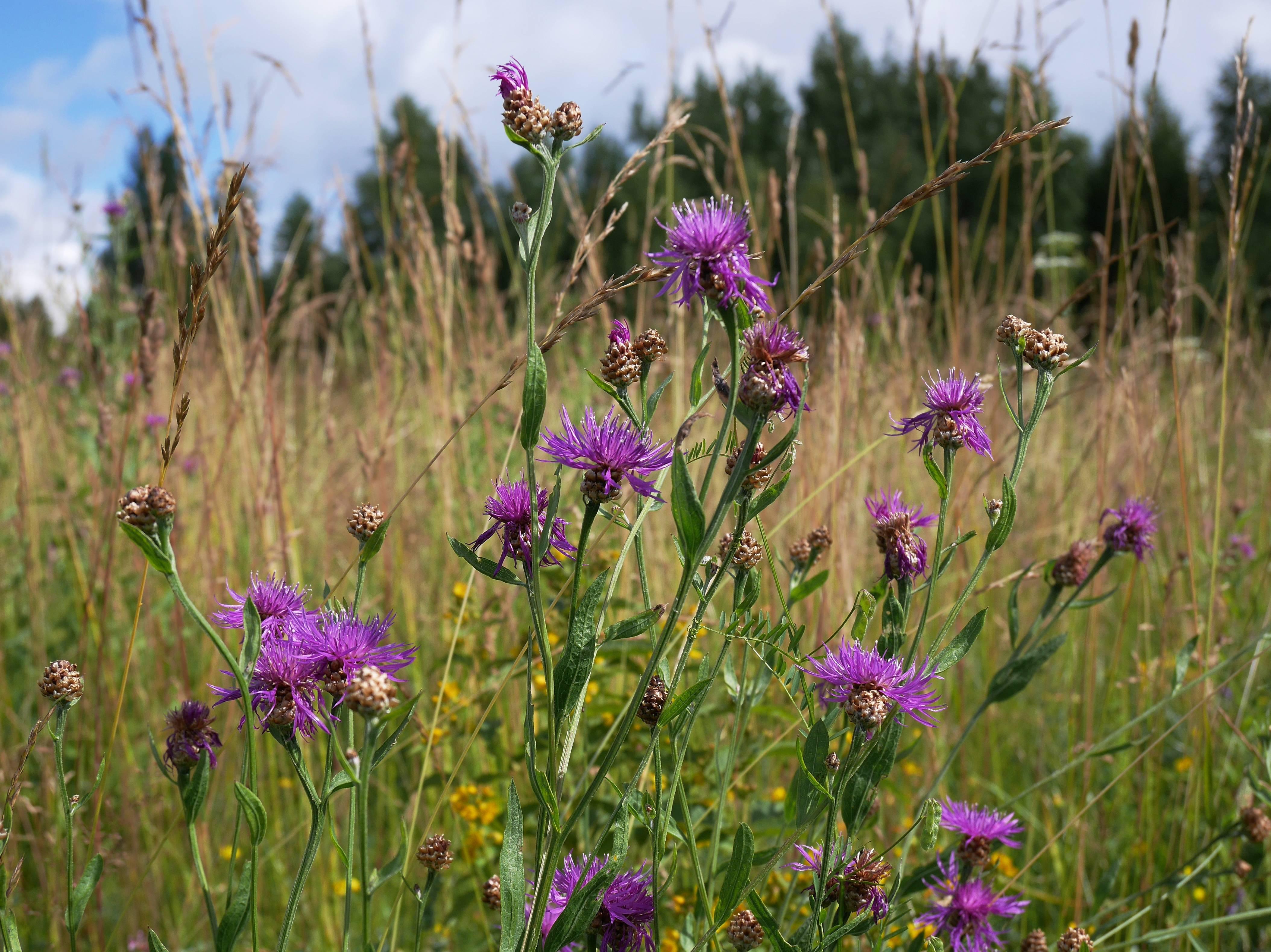 Василек луговой. полевое сорное растение