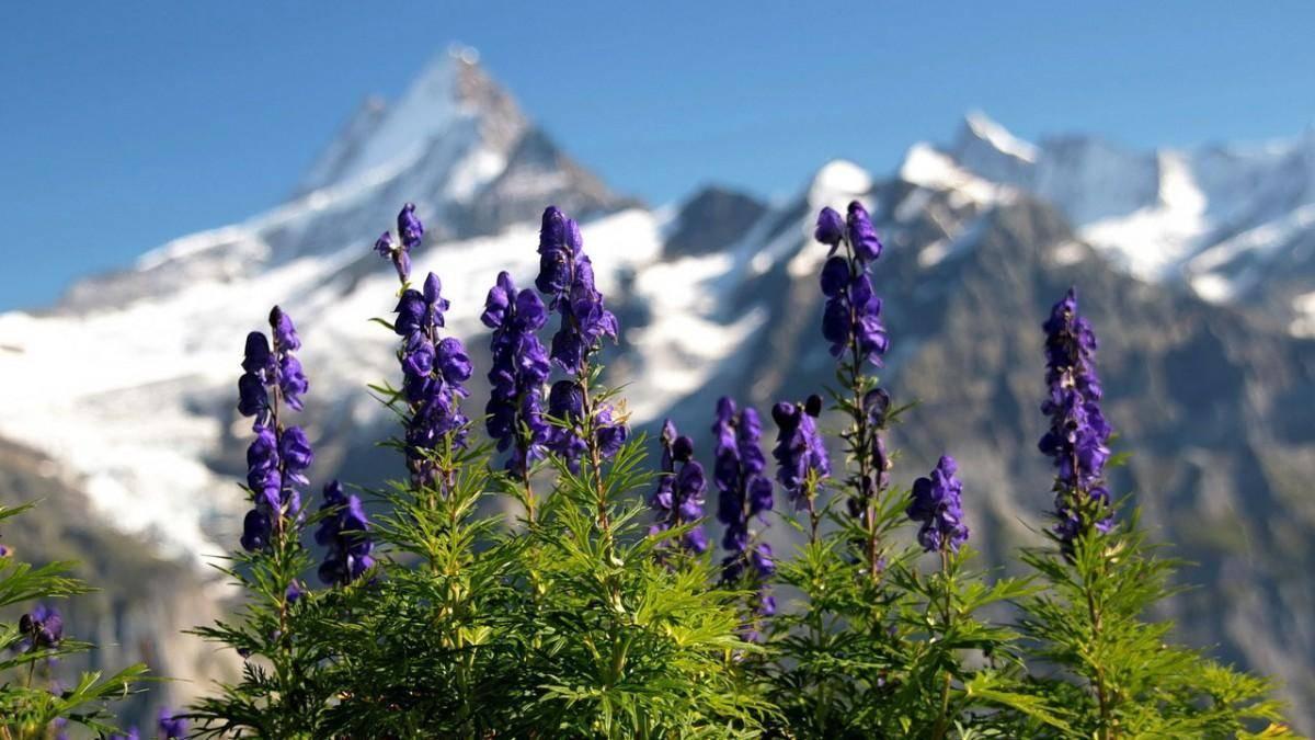 Аконит: выращивание и уход, полезные свойства, где растет в россии, фото и видео