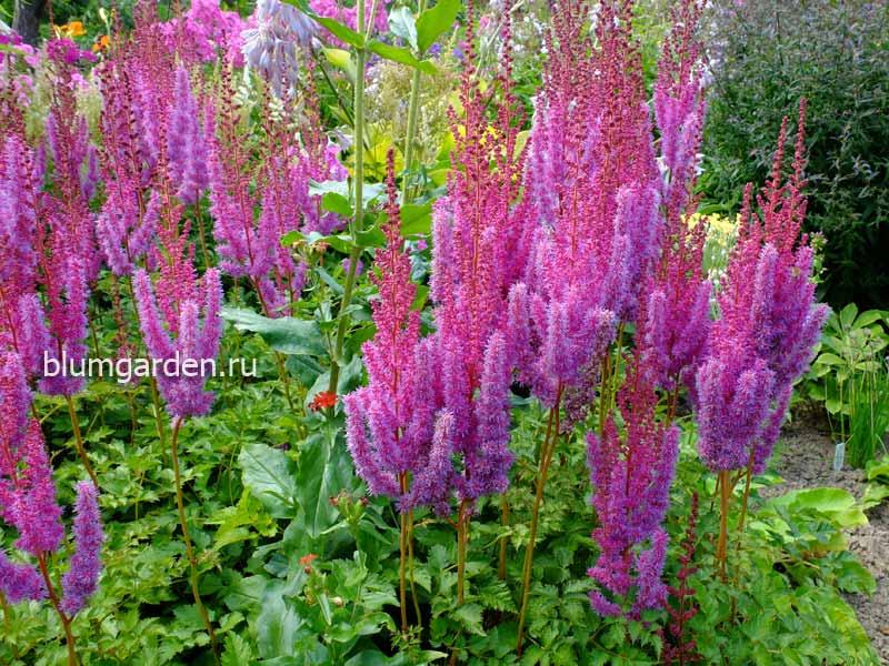 Астильба: описание выращивания из семян