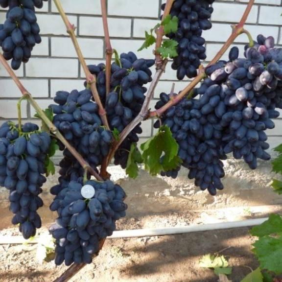 Виноград: посадка и уход. выращивание. подкормка. сорта винограда