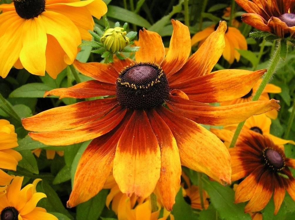 фото цветка рудбекия мирабилис стайная