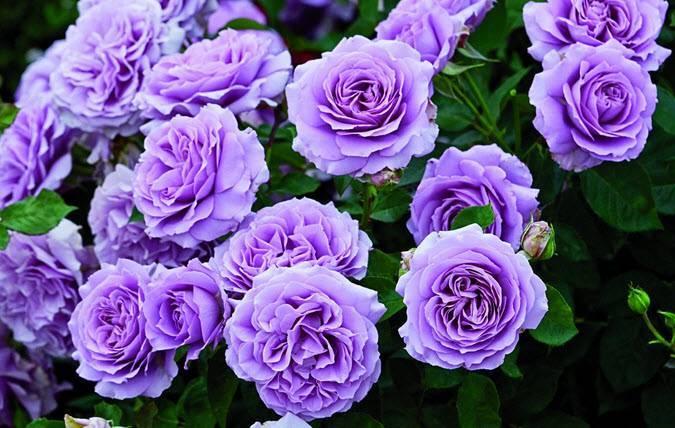 Розы – лучшие сорта