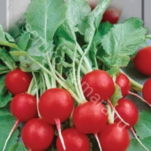 Редис жара: описание и фото сорта, правила выращивания в открытом грунте, а также что нужно знать о посадке этого вида овоща и уходе за ним?