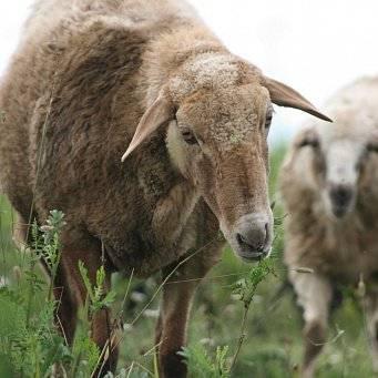 Овцы эдильбаевской породы: описание, разведение