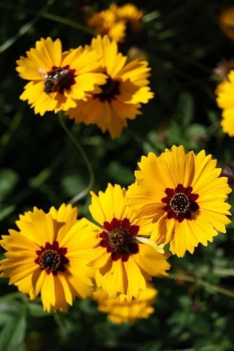 Кореопсис многолетний: фото и описание растения, посадка и уход за цветком