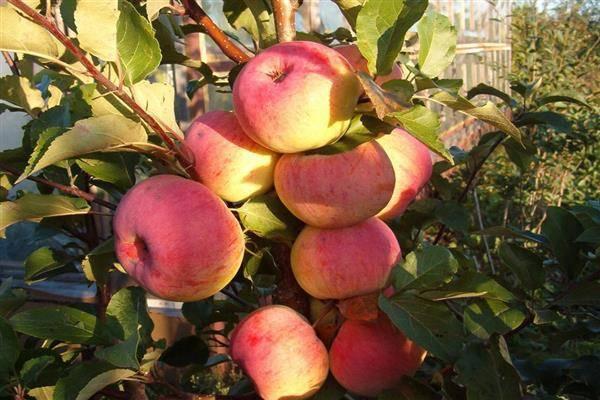 Как вырастить яблони сорта услада у себя в саду