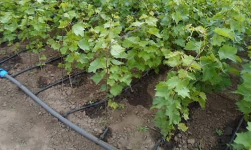 Как правильно поливать и подкармливать виноград с мая по октябрь