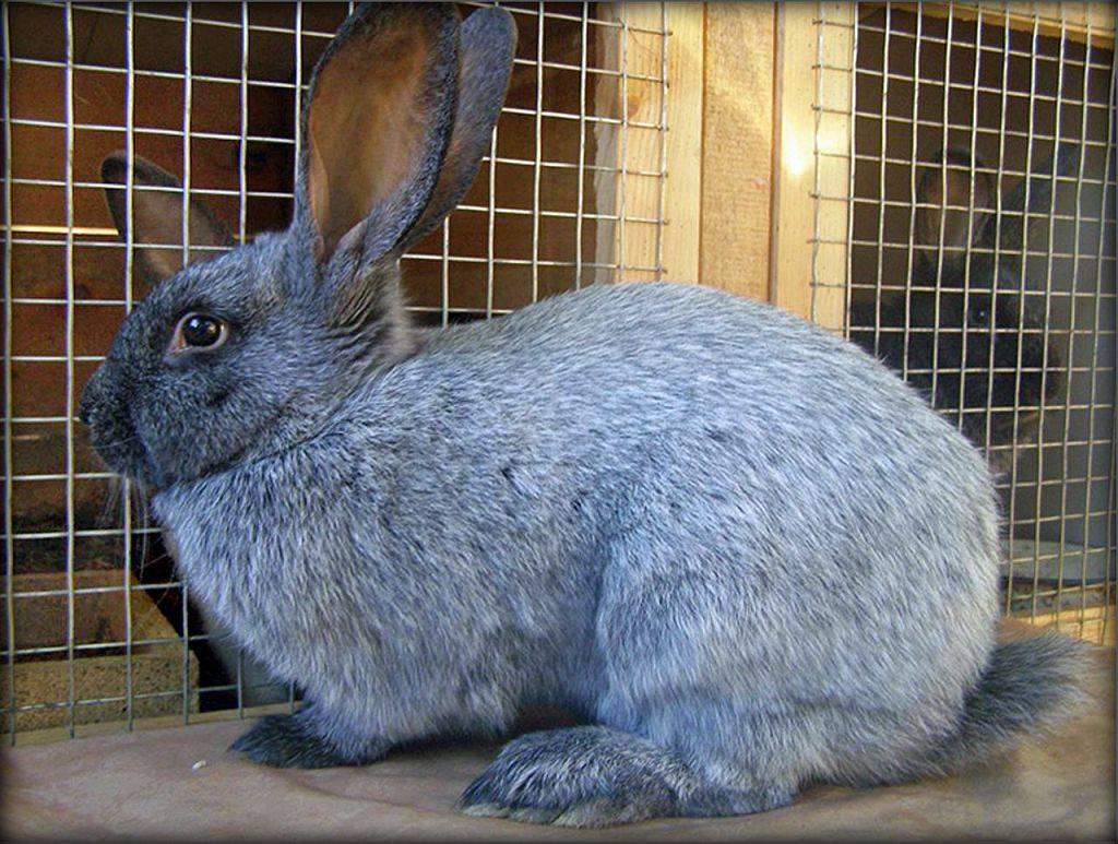 Классификация пород кроликов
