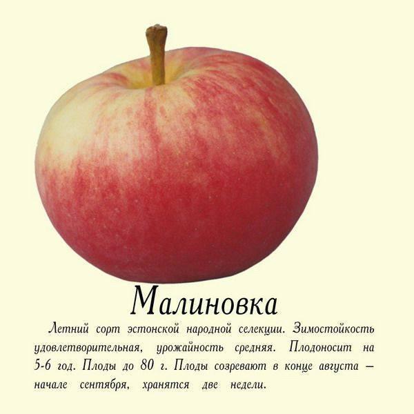 Яблоня белорусская малиновая: описание сорта и его характеристики, выращивание и уход, болезни и вредители