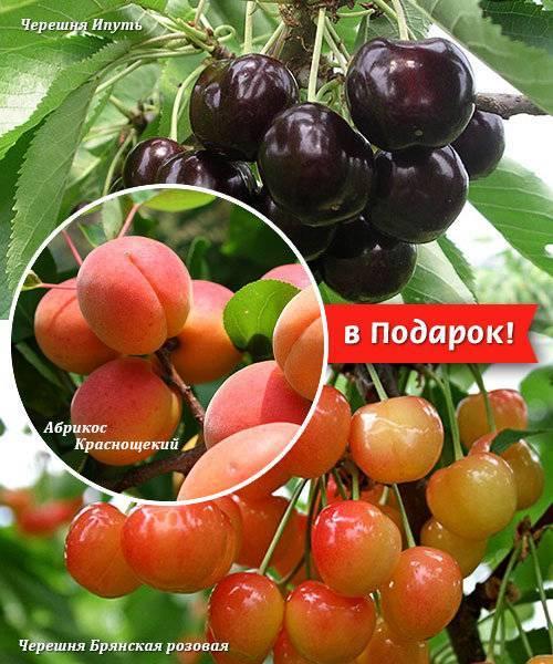 Черешня брянская розовая: выносливый сорт для морозных регионов