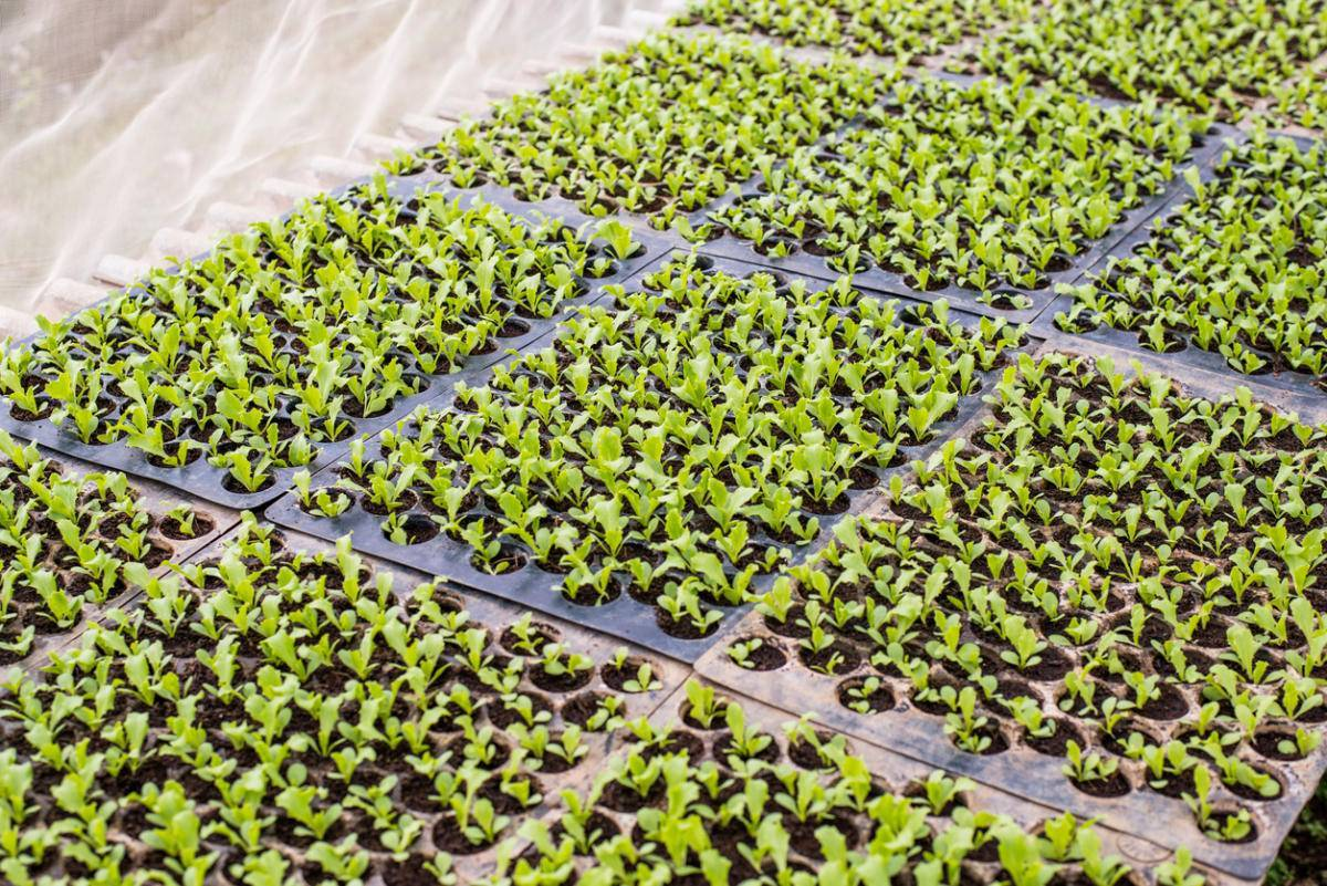 Как выращивать пекинскую капусту на даче  — советы и рекомендации
