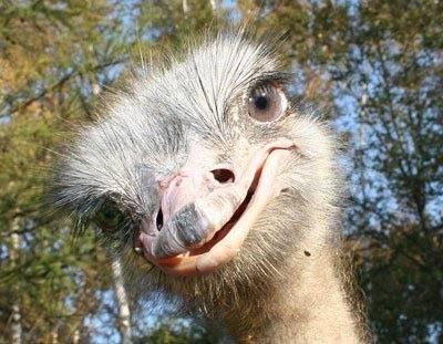 О страусах Эму: что это за австралийская порода и в чем ее основные отличия