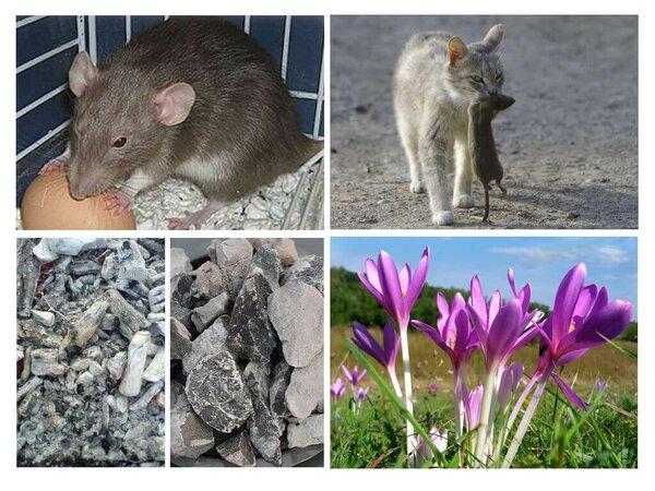 Как избавиться от крыс в курятнике, доме или квартире