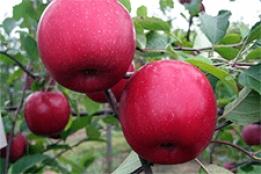 Главные особенности посадки и ухода за яблоней сорта имрус