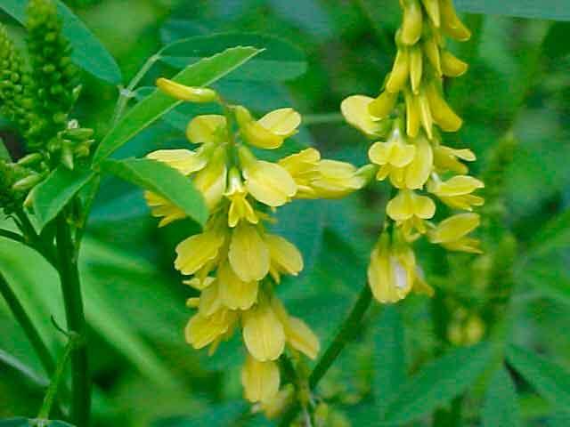 О траве золототысячнике: как выглядит, полезные свойства растения, применение