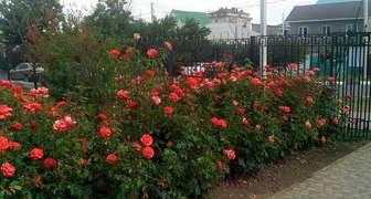 Мульчирование роз – основные рекомендации