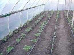 Как сажать помидоры в теплице из поликарбоната, когда высаживать, как ухаживать