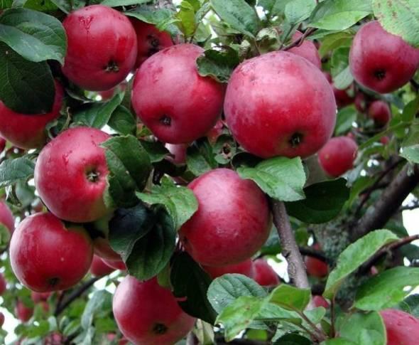 Полезные плоды отменного вкуса — яблони сорта юный натуралист