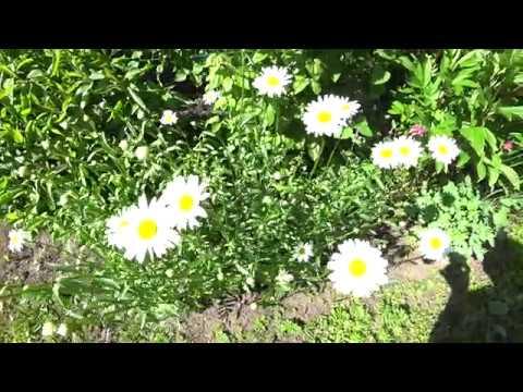 О голубой (синей) многолетней садовой ромашке: описание и характеристики, уход