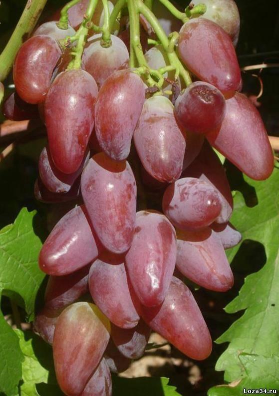 Характеристика винограда дубовского розового