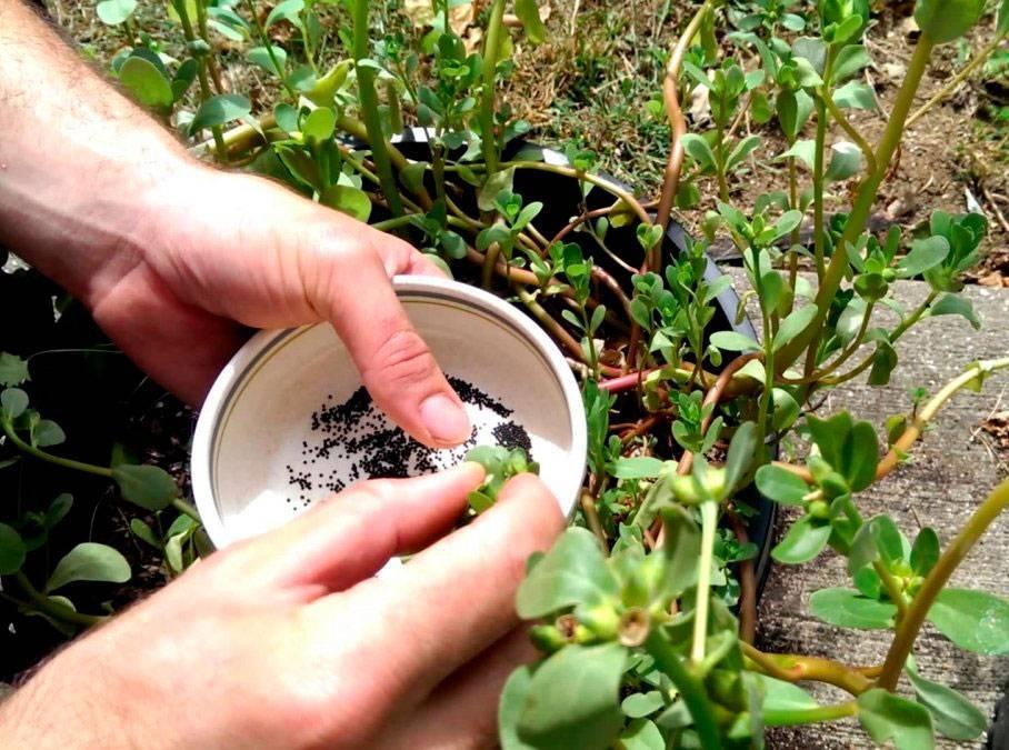 Выращивание рассады портулака из семян в домашних условиях