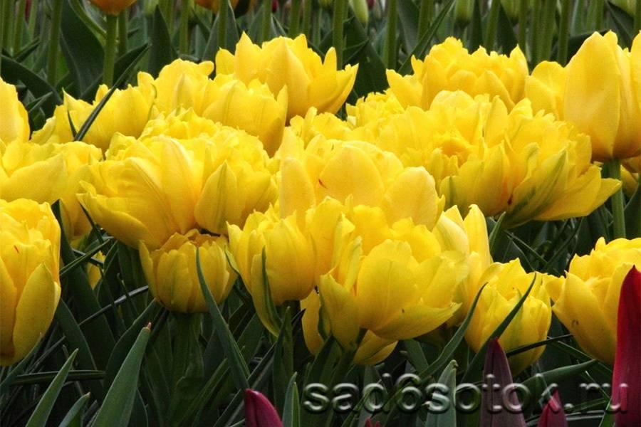 Тюльпан (80 фото): описание и строение цветов. как они выглядят и растут? как вырастить красивые желтые тюльпаны дома на подоконнике? посадка и уход