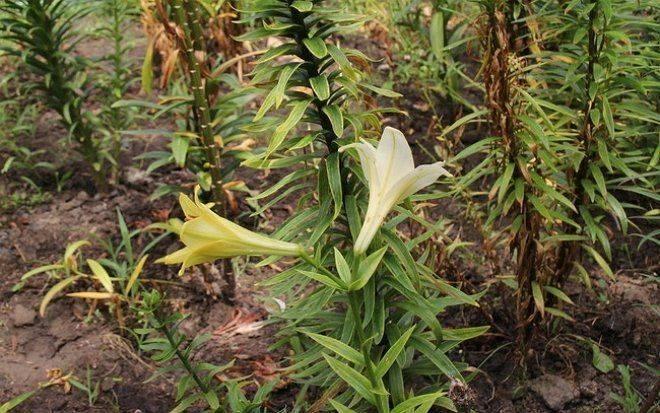 Почему желтеют листья у амариллиса: каковы причины появления данной проблемы и как ее устранить, а также другие болезни растения, их лечение и борьба с вредителями