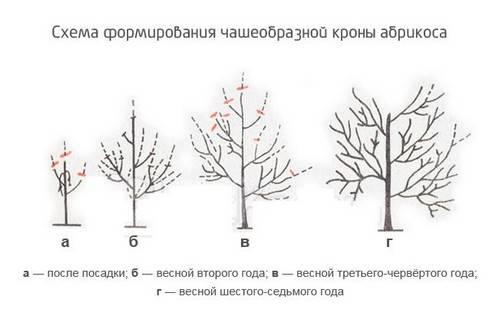 Об абрикосе Погремок: описание и характеристики сорта, посадка, уход