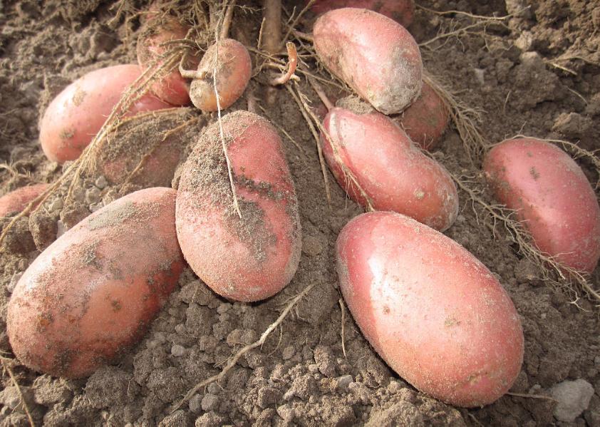 Сорт картофеля «лаура» – описание и фото