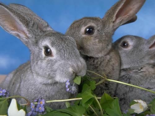 Кролик породы строкач: описание и характеристика, особенности содержания