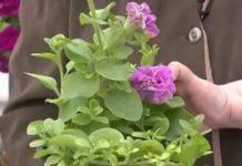 Прищипка петунии: 5 правил, чтобы вырастить пышно цветущее растение