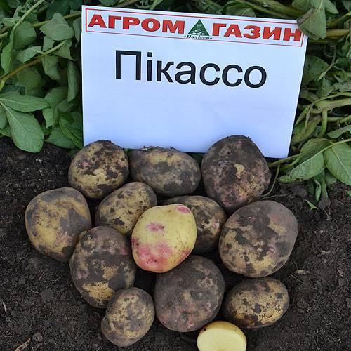 Пикассо — описание и отзывы о голландском сорте картофеля