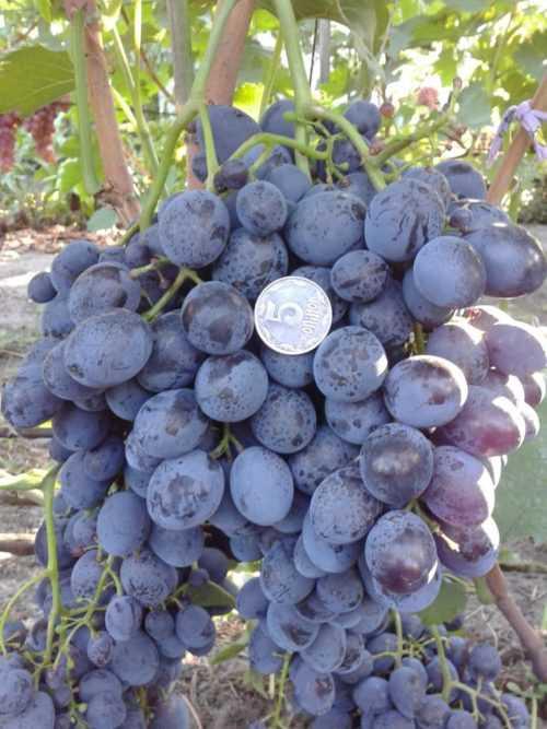 Виноград сфинкс: описание сорта, фото, отзывы