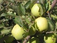 Районированные сорта яблонь для урала с фото и описанием