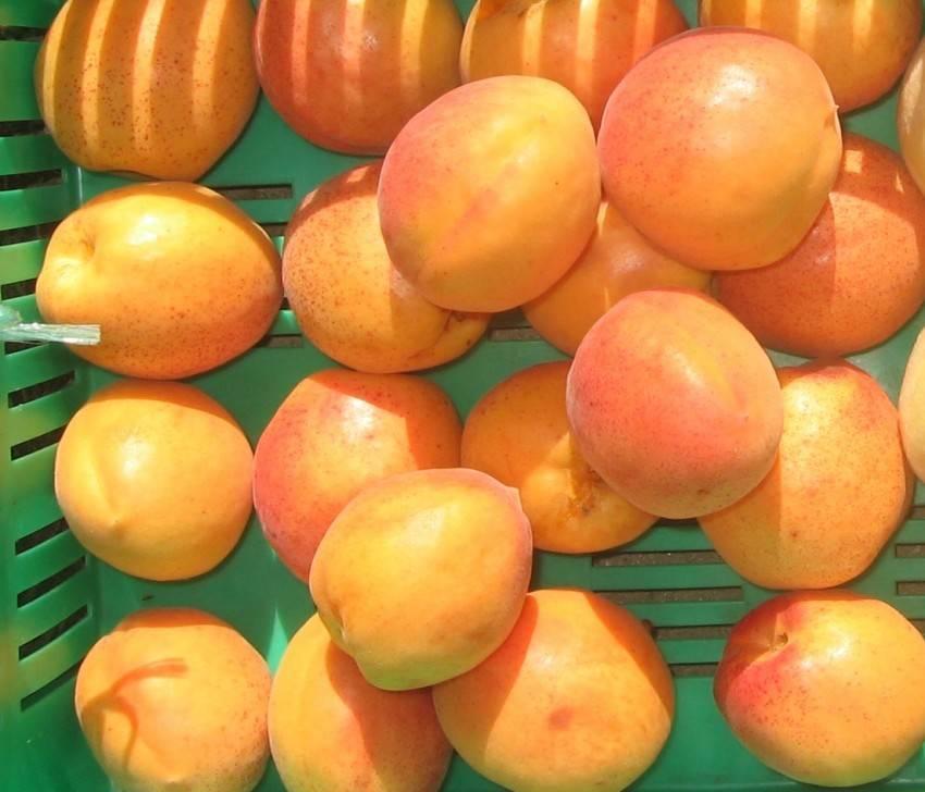 Подкормка абрикосов в весенний период