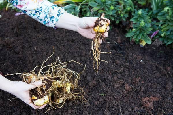 Как правильно посадить лилии: схема и глубина посадки