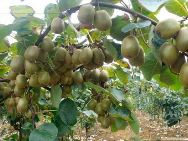 Киви (актинидия), (actinidia). описание, виды и выращивание киви. лечебные и другие полезные свойства киви