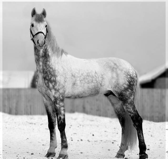 Булонская порода лошадей: история, описание, характер
