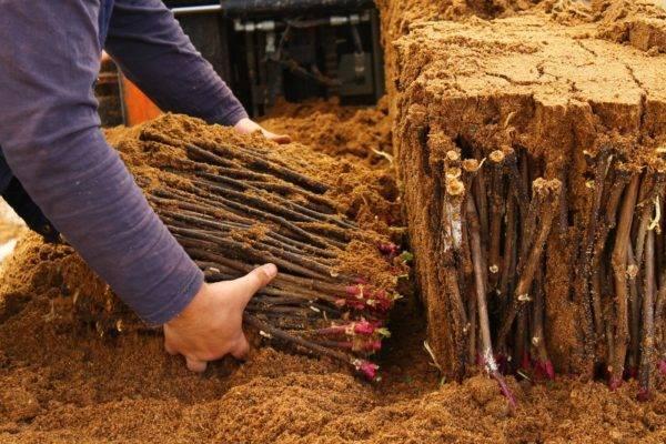 Как проращивать черенки винограда: способы проращивание, особенности