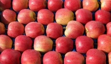 Популярный сорт яблони гала и его разновидности