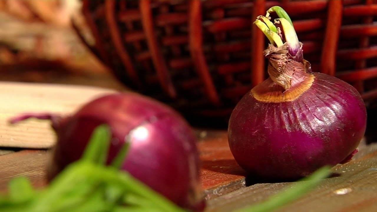 Лук севок под зиму, как сажать и как его вырастить из семян (чернушки)